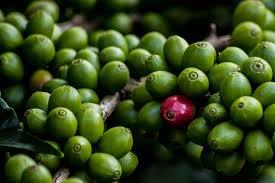 zelená káva podvod